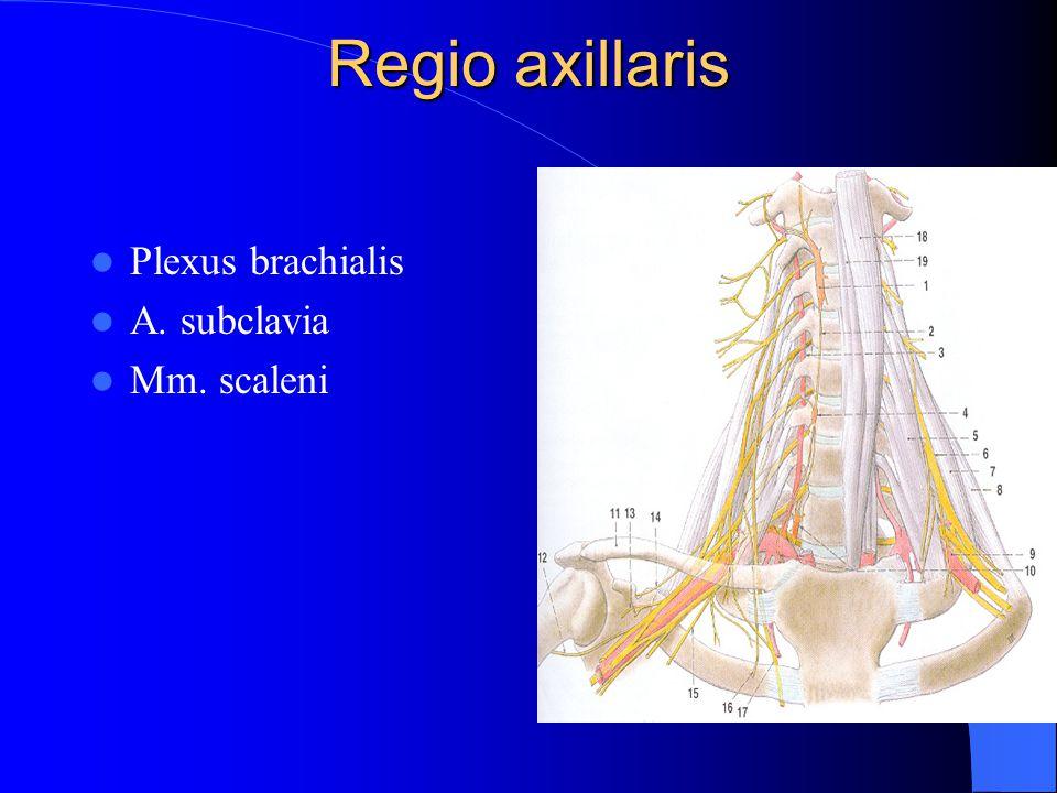 Regio axillaris Plexus brachialis A. subclavia Mm. scaleni
