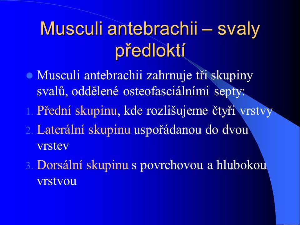 Musculi antebrachii – svaly předloktí Musculi antebrachii zahrnuje tři skupiny svalů, oddělené osteofasciálními septy: 1. Přední skupinu, kde rozlišuj