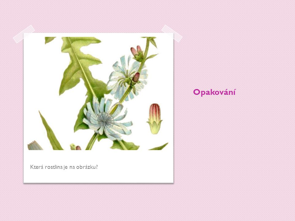 Opakování Která rostlina je na obrázku