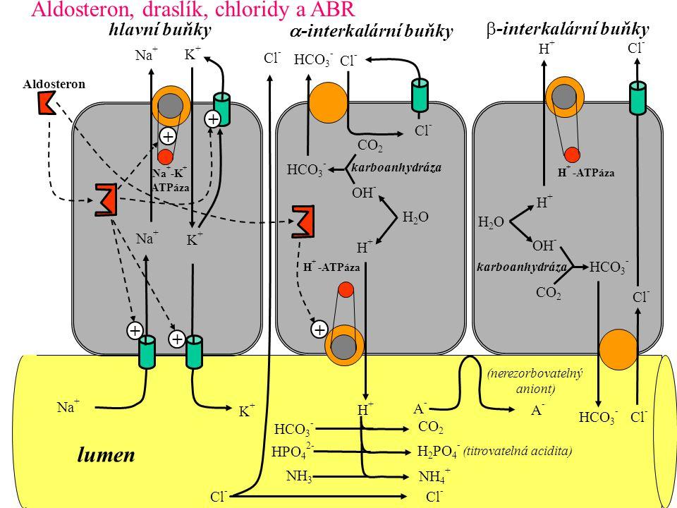 Na + K+K+ Na + -K + ATPáza Cl - Na + K+K+ H + -ATPáza H+H+ karboanhydráza CO 2 H2OH2O H+H+ OH - HCO 3 - Cl - HCO 3 - CO 2 HPO 4 2- H 2 PO 4 - (titrova