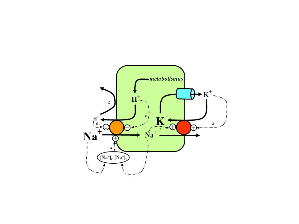 H+H+ Na + K+K+ K+K+ H+H+ metabolismus - + Na + 1 2 4 5 6 [Na + ] e -[Na + ] i + + + 3
