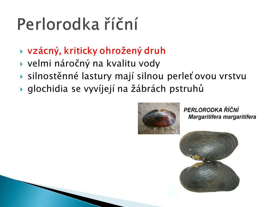  vzácný, kriticky ohrožený druh  velmi náročný na kvalitu vody  silnostěnné lastury mají silnou perleťovou vrstvu  glochidia se vyvíjejí na žábrách pstruhů