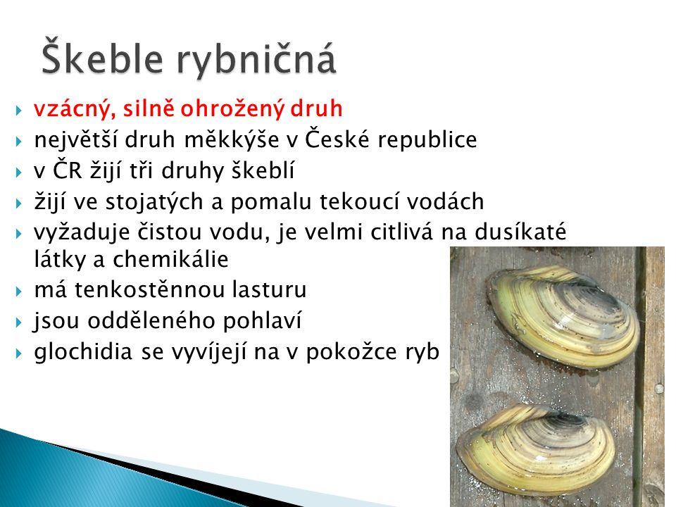  vzácný, silně ohrožený druh  největší druh měkkýše v České republice  v ČR žijí tři druhy škeblí  žijí ve stojatých a pomalu tekoucí vodách  vyžaduje čistou vodu, je velmi citlivá na dusíkaté látky a chemikálie  má tenkostěnnou lasturu  jsou odděleného pohlaví  glochidia se vyvíjejí na v pokožce ryb