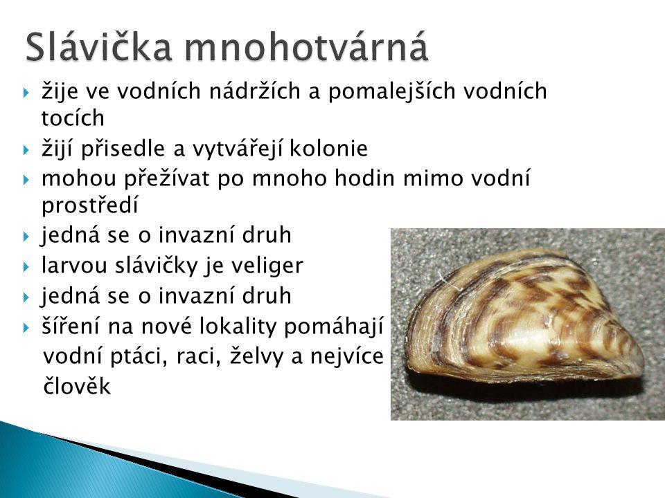  velikost – 2 – 10 mm  jsou hermafrodité  v ČR žije asi 13 druhů