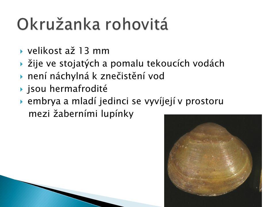  velikost až 13 mm  žije ve stojatých a pomalu tekoucích vodách  není náchylná k znečistění vod  jsou hermafrodité  embrya a mladí jedinci se vyvíjejí v prostoru mezi žaberními lupínky