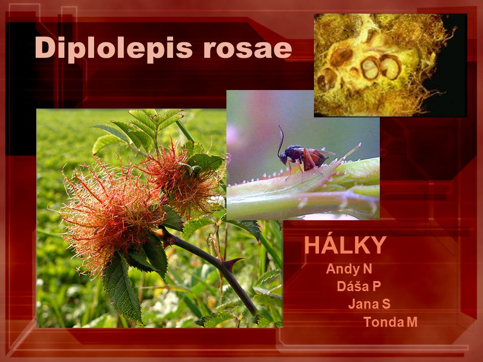 Diplolepis rosae HÁLKY Andy N Dáša P Jana S Tonda M