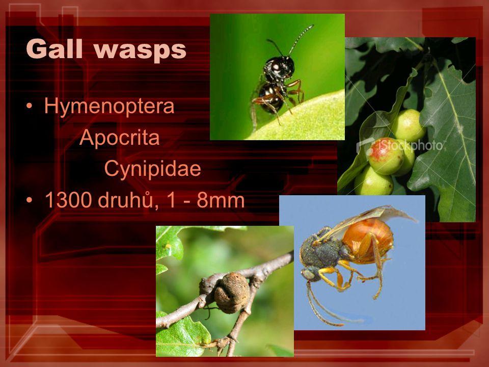 Diplolepis rosae bedeguary na růžích /léto, podzim/ list, řapík, výhon (květ, plod) vrchol usychá vyletí zjara, pouze samičky