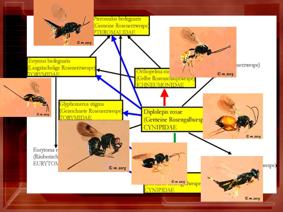 Parasitoid community of bedeguars /Laszlo 2001/ gall wasp/parasitoid poměr objem hálek vzdálenost hálek od země a jiné vegetace Spearman rank-correlation