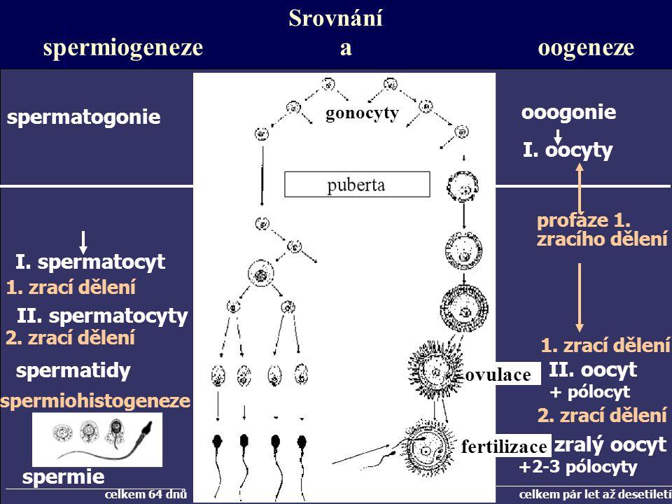 Srovnání spermiogeneze a oogeneze spermatogonie gonocyty ooogonie I.