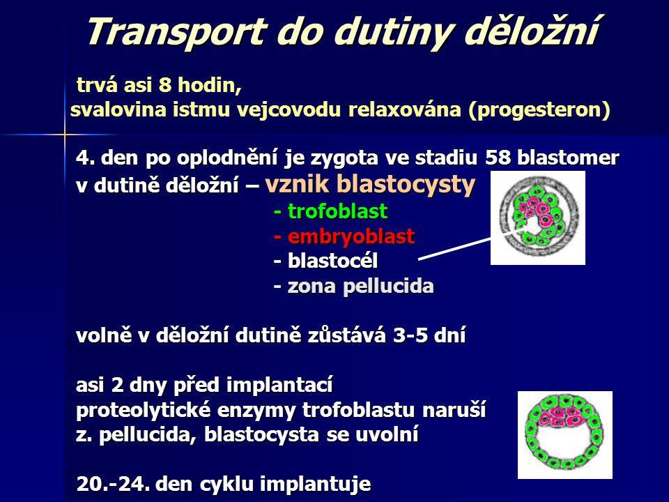 Transport do dutiny děložní trvá asi 8 hodin, svalovina istmu vejcovodu relaxována (progesteron) 4.