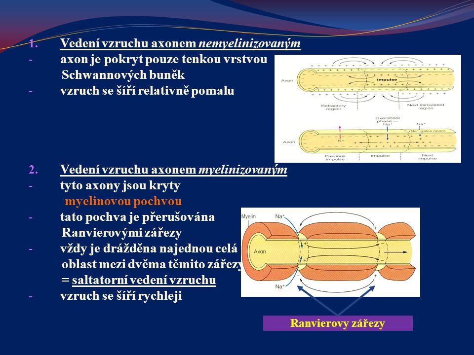 1. Vedení vzruchu axonem nemyelinizovaným - axon je pokryt pouze tenkou vrstvou Schwannových buněk - vzruch se šíří relativně pomalu 2. Vedení vzruchu