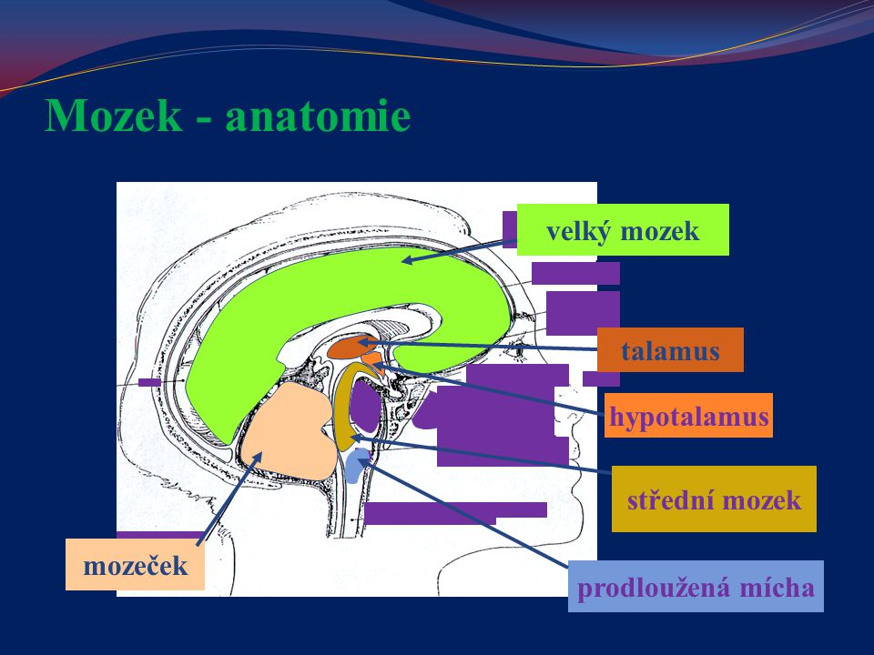 Mozek - anatomie velký mozek mozeček talamus hypotalamus střední mozek prodloužená mícha