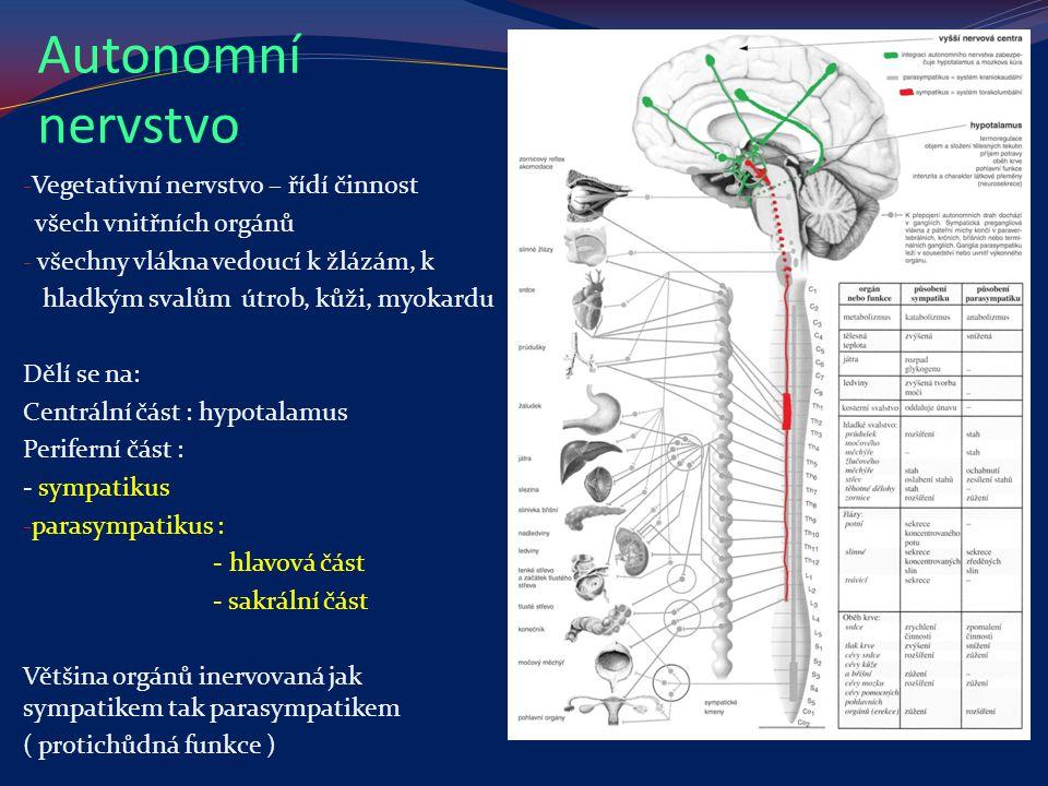 Autonomní nervstvo - Vegetativní nervstvo – řídí činnost všech vnitřních orgánů - všechny vlákna vedoucí k žlázám, k hladkým svalům útrob, kůži, myoka