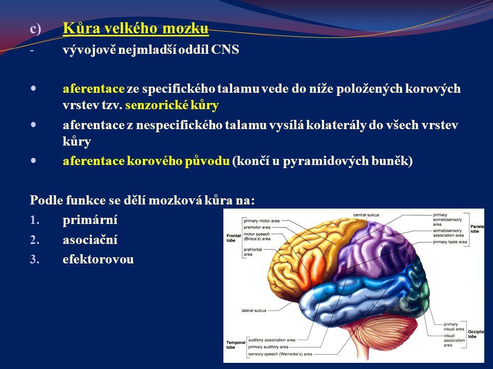 c) Kůra velkého mozku - vývojově nejmladší oddíl CNS aferentace ze specifického talamu vede do níže položených korových vrstev tzv. senzorické kůry af