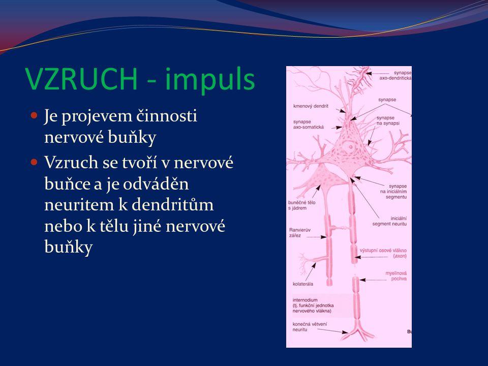 VZRUCH - impuls Je projevem činnosti nervové buňky Vzruch se tvoří v nervové buňce a je odváděn neuritem k dendritům nebo k tělu jiné nervové buňky