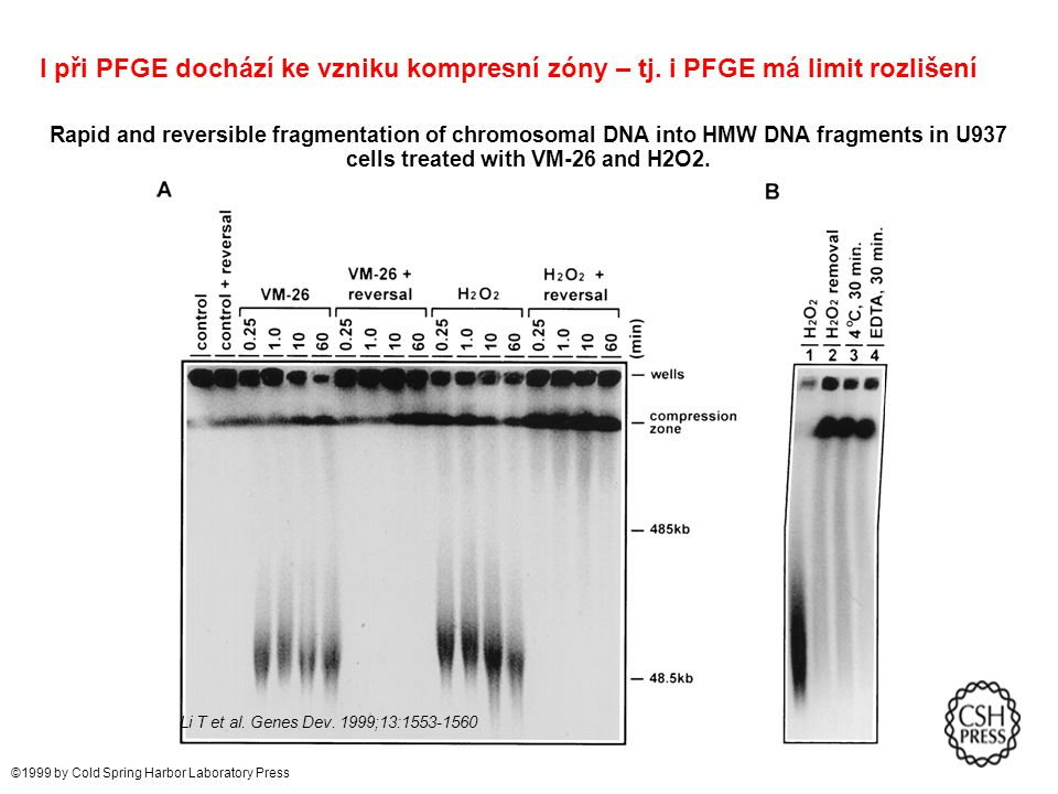 Rapid and reversible fragmentation of chromosomal DNA into HMW DNA fragments in U937 cells treated with VM-26 and H2O2. Li T et al. Genes Dev. 1999;13