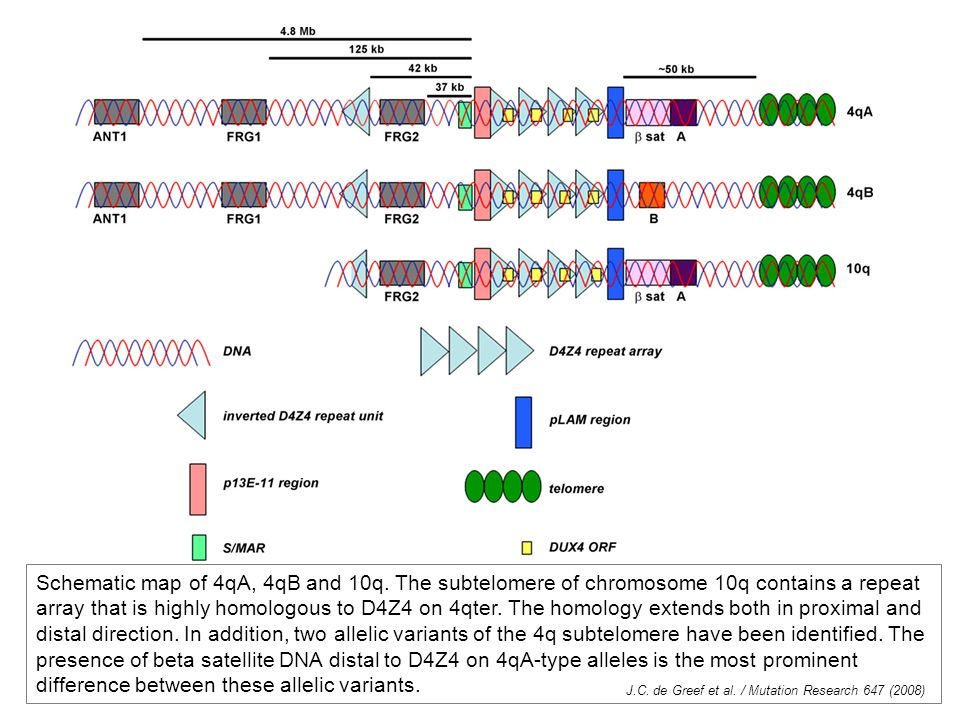 Schematic map of 4qA, 4qB and 10q. The subtelomere of chromosome 10q contains a repeat array that is highly homologous to D4Z4 on 4qter. The homology