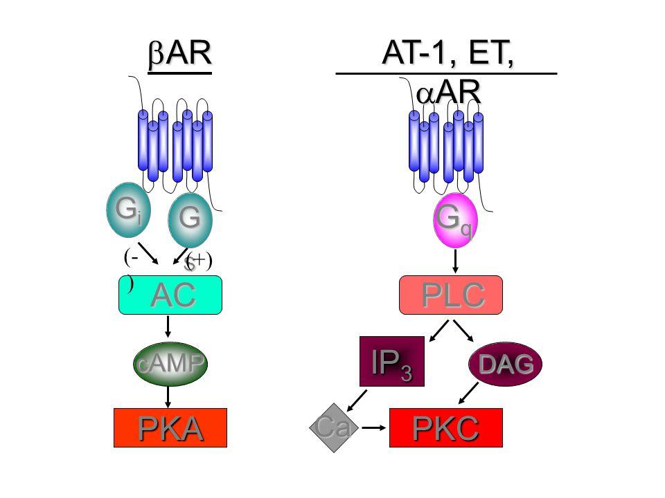  AR AT-1, ET,  AR GiGiGiGi GSGSGSGS AC cAMP PKA (- ) (+) GqGqGqGq PLC IP 3 PKC DAG Ca