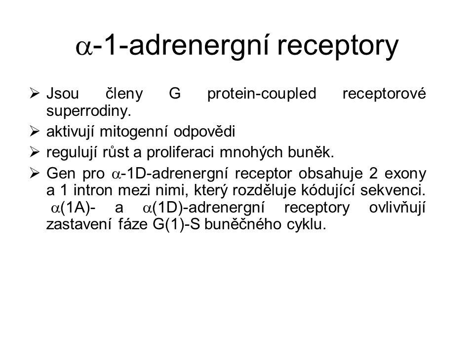  -1-adrenergní receptory  Jsou členy G protein-coupled receptorové superrodiny.  aktivují mitogenní odpovědi  regulují růst a proliferaci mnohých