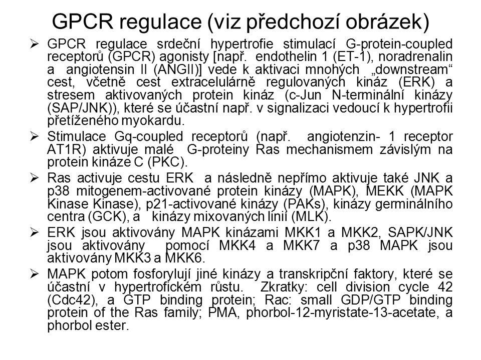 GPCR regulace (viz předchozí obrázek)  GPCR regulace srdeční hypertrofie stimulací G-protein-coupled receptorů (GPCR) agonisty [např. endothelin 1 (E
