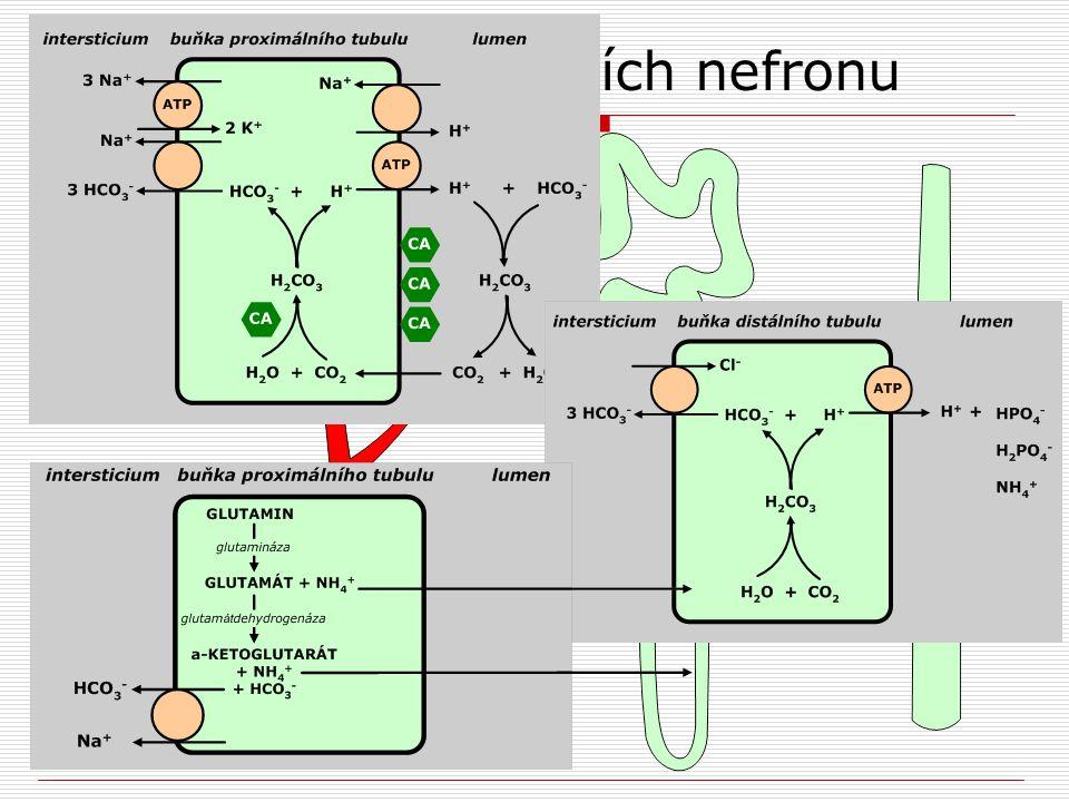 Regulace ABR v úsecích nefronu