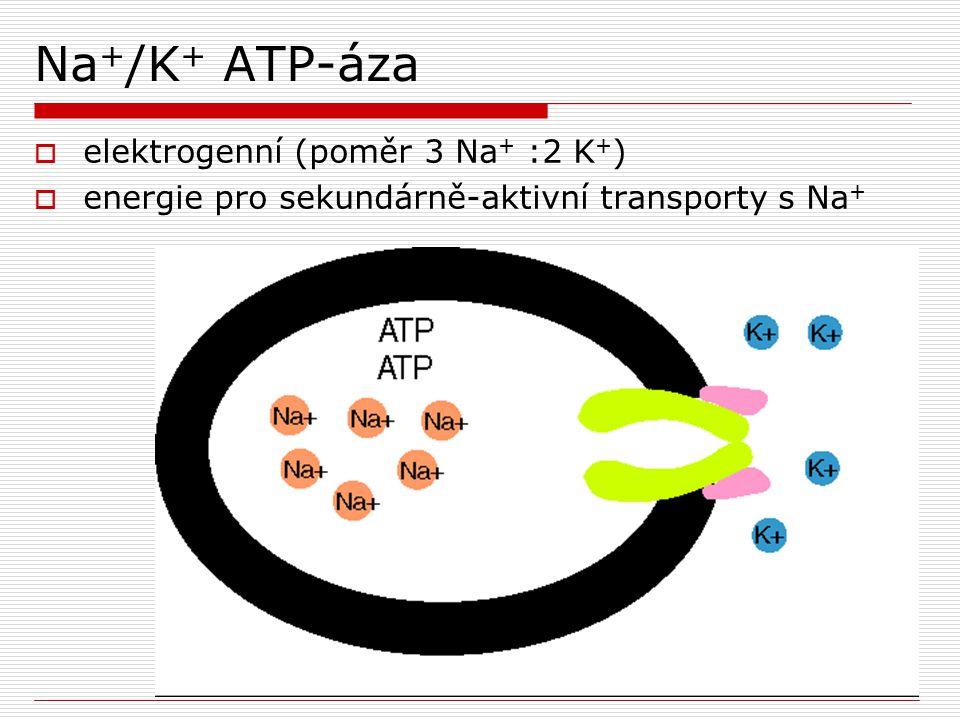 Na + /K + ATP-áza  elektrogenní (poměr 3 Na + :2 K + )  energie pro sekundárně-aktivní transporty s Na +