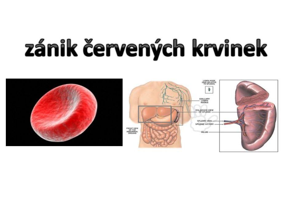 NIČÍ CIZORODÉ A ODUMŘELÉ BUŇKY OCHRANA ORGANISMU vznikají v kostní dřeni, ve slezině, v mízních uzlinách, v brzlíku provádí v krvi FAGOCYTÓZU jsou příčinou, proč nelze provádět transfuzi krve různých krevních skupin TVORBA PROTILÁTEK