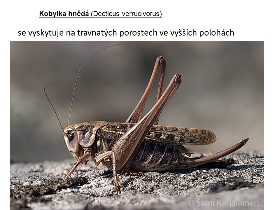 se vyskytuje na travnatých porostech ve vyšších polohách Kobylka hnědá (Decticus verrucivorus)