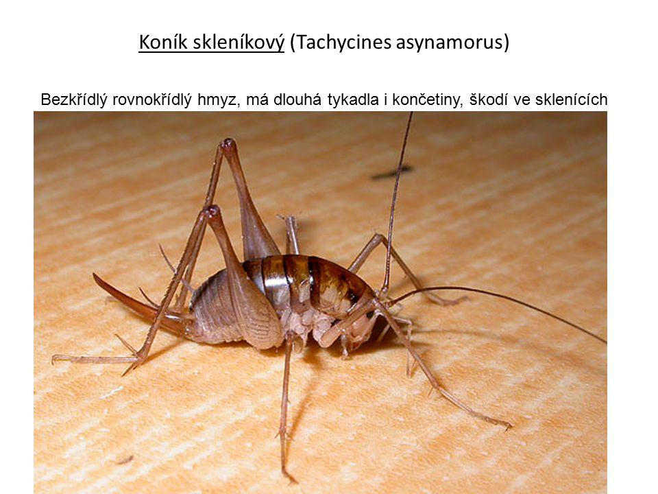 Koník skleníkový (Tachycines asynamorus) Bezkřídlý rovnokřídlý hmyz, má dlouhá tykadla i končetiny, škodí ve sklenících