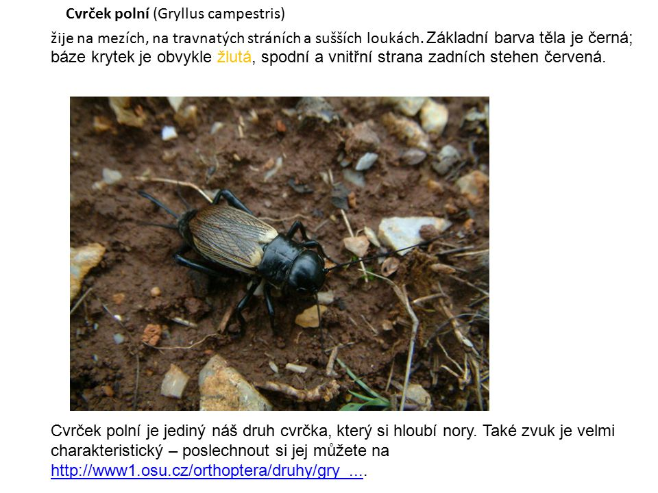 Použité zdroje: The Country Cricket (Gryllus campestris) is a very popular and well known...