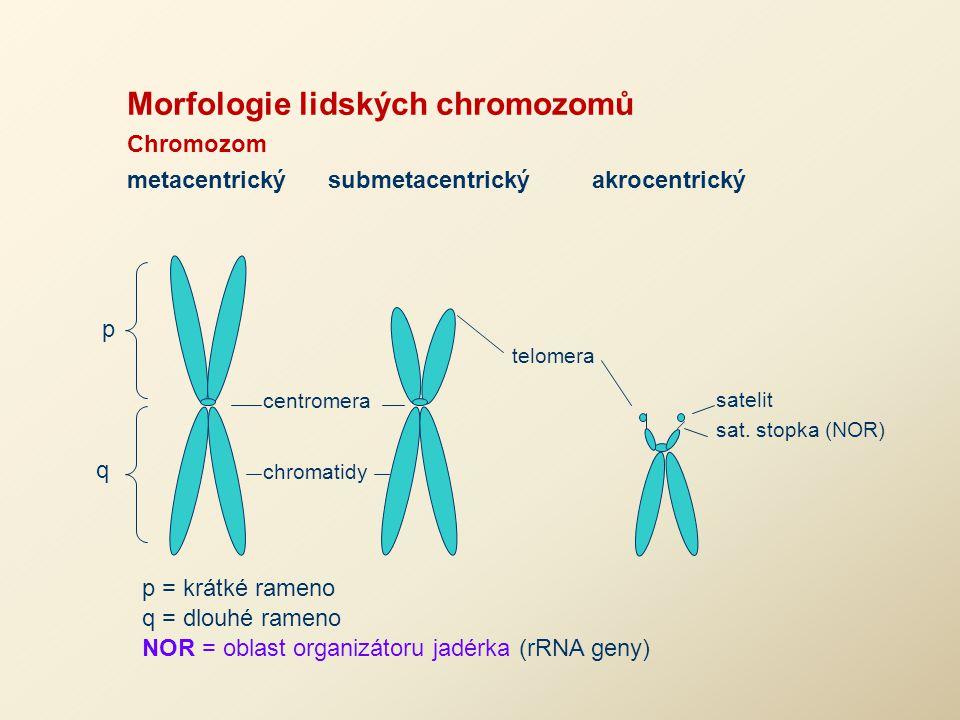 Morfologie lidských chromozomů Chromozom metacentrický submetacentrický akrocentrický q p centromera chromatidy telomera satelit sat. stopka (NOR) p =