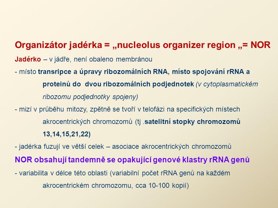 """Organizátor jadérka = """"nucleolus organizer region """"= NOR Jadérko – v jádře, není obaleno membránou - místo transripce a úpravy ribozomálních RNA, míst"""