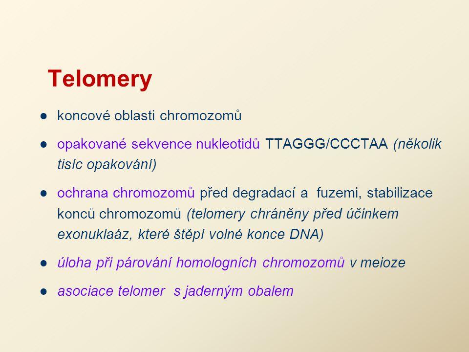 Telomery koncové oblasti chromozomů opakované sekvence nukleotidů TTAGGG/CCCTAA (několik tisíc opakování) ochrana chromozomů před degradací a fuzemi,