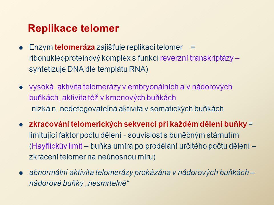 Replikace telomer Enzym telomeráza zajišťuje replikaci telomer = ribonukleoproteinový komplex s funkcí reverzní transkriptázy – syntetizuje DNA dle te