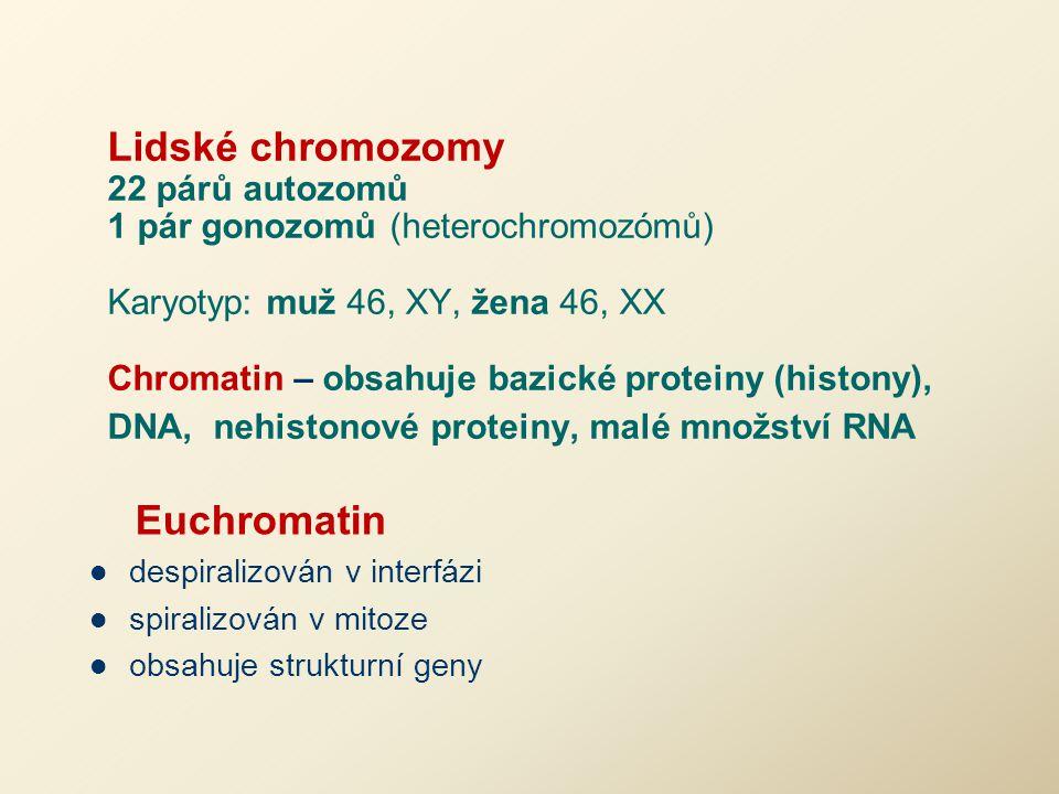 Lidské chromozomy 22 párů autozomů 1 pár gonozomů (heterochromozómů) Karyotyp: muž 46, XY, žena 46, XX Chromatin – obsahuje bazické proteiny (histony)