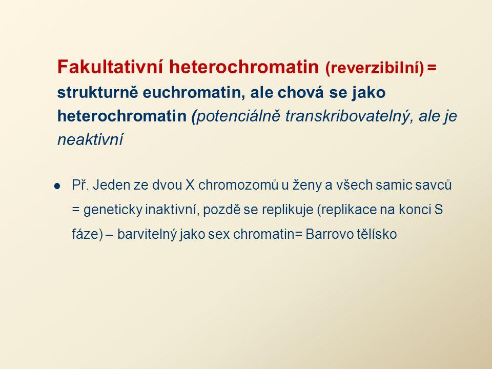 Fakultativní heterochromatin (reverzibilní) = strukturně euchromatin, ale chová se jako heterochromatin (potenciálně transkribovatelný, ale je neaktiv