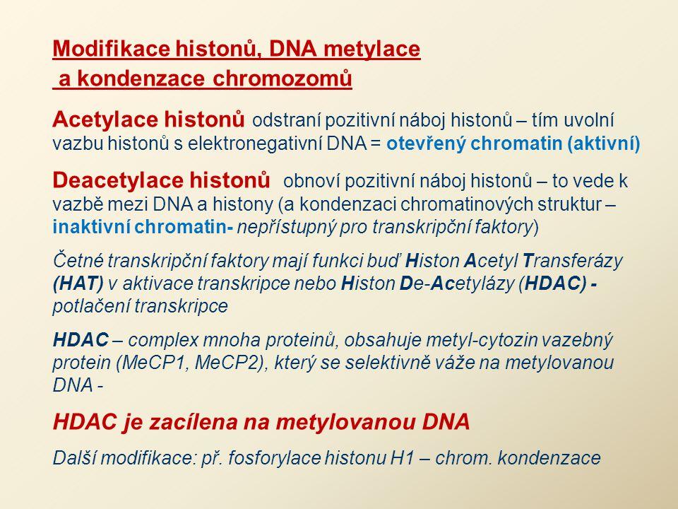 Modifikace histonů, DNA metylace a kondenzace chromozomů Acetylace histonů odstraní pozitivní náboj histonů – tím uvolní vazbu histonů s elektronegati