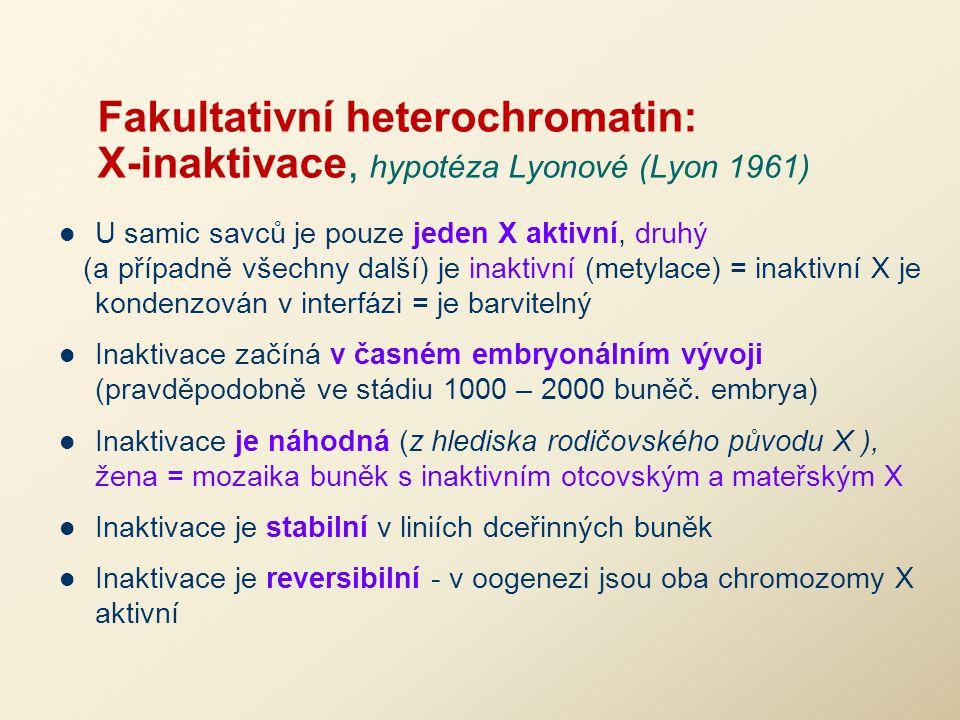 Fakultativní heterochromatin: X-inaktivace, hypotéza Lyonové (Lyon 1961) U samic savců je pouze jeden X aktivní, druhý (a případně všechny další) je i