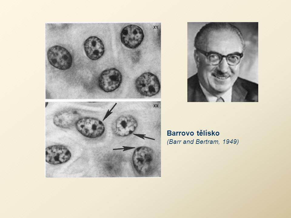 Barrovo tělísko (Barr and Bertram, 1949)