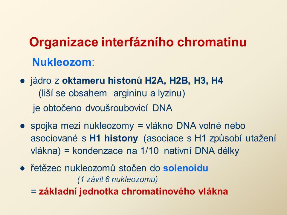 Organizace interfázního chromatinu Nukleozom: jádro z oktameru histonů H2A, H2B, H3, H4 (liší se obsahem argininu a lyzinu) je obtočeno dvoušroubovicí