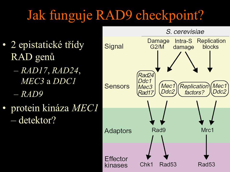 Jak funguje RAD9 checkpoint.