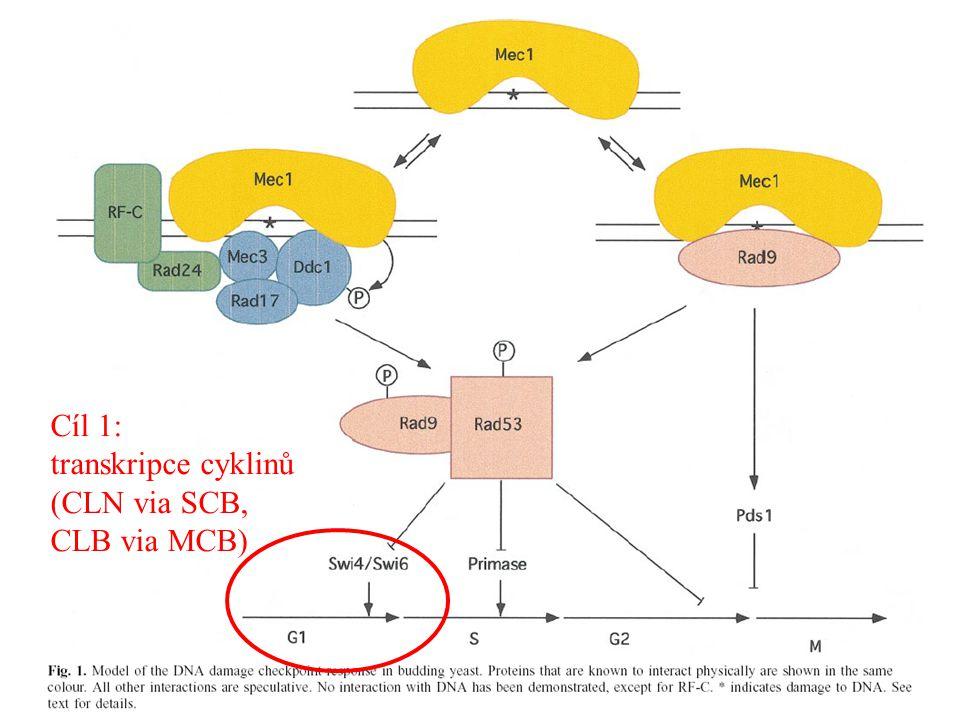 Cíl 1: transkripce cyklinů (CLN via SCB, CLB via MCB)