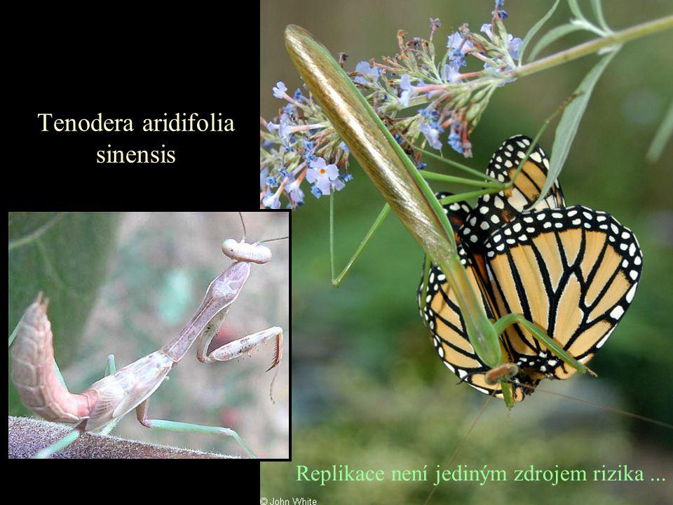 Tenodera aridifolia sinensis Replikace není jediným zdrojem rizika...