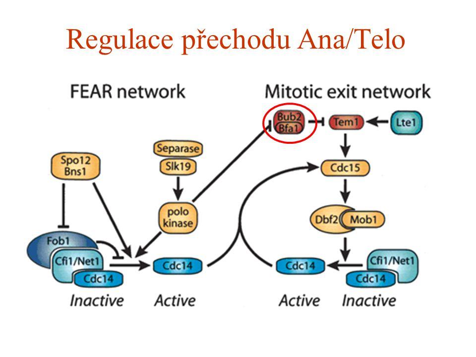Regulace přechodu Ana/Telo