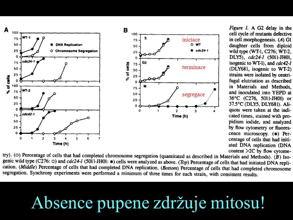 iniciace terminace segregace Absence pupene zdržuje mitosu!