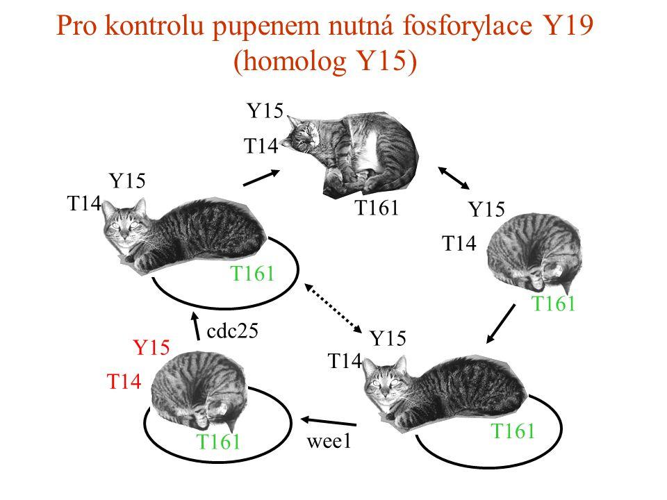 Pro kontrolu pupenem nutná fosforylace Y19 (homolog Y15) T14 Y15 T161 Y15 T14 T161 Y15 T14 Y15 T161 T14 Y15 T161 cdc25 wee1