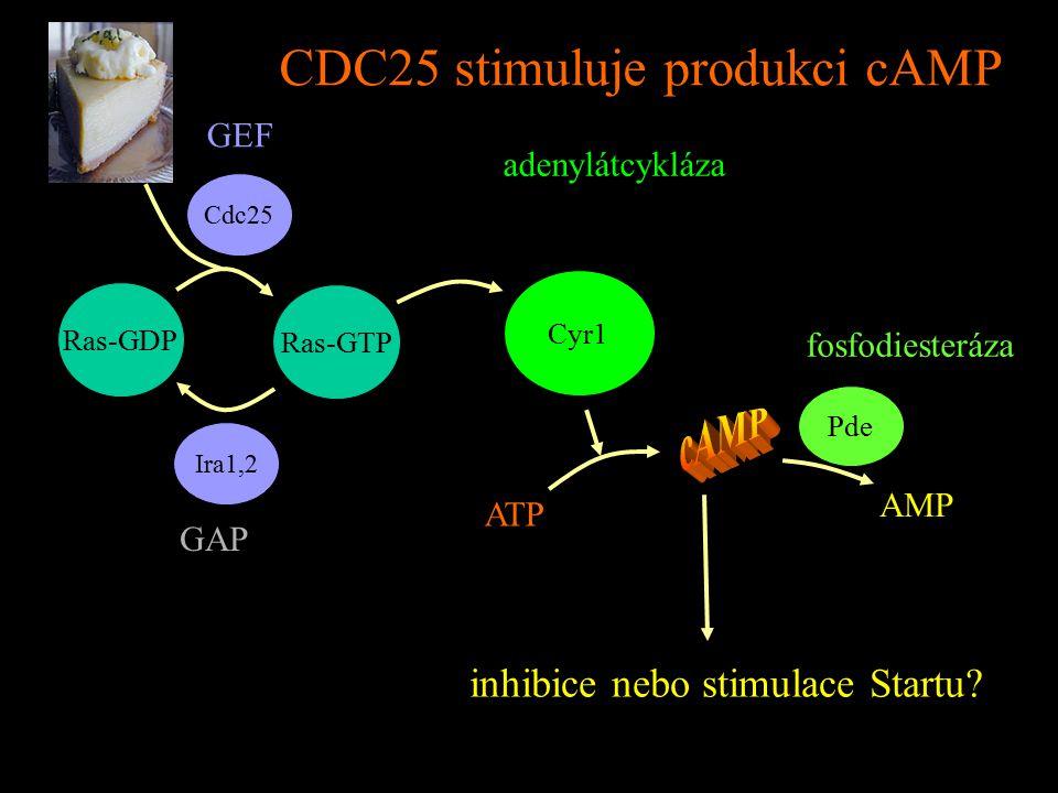 CDC25 stimuluje produkci cAMP Ras-GDP Ras-GTP Cdc25 Ira1,2 Cyr1 GEF GAP adenylátcykláza ATP AMP Pde fosfodiesteráza inhibice nebo stimulace Startu