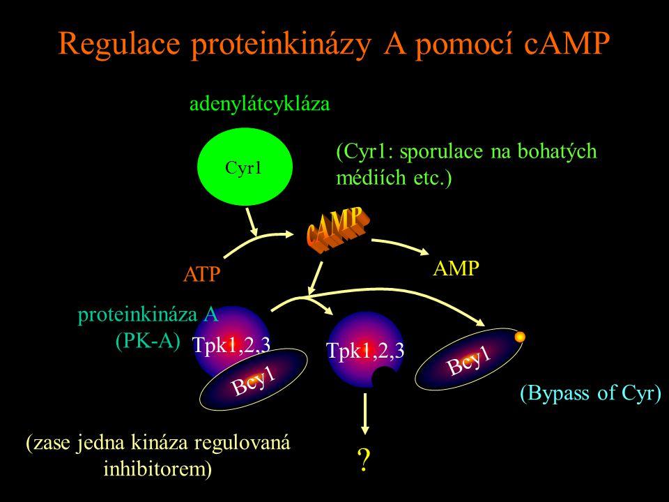 Regulace proteinkinázy A pomocí cAMP Cyr1 adenylátcykláza ATP AMP Tpk1,2,3 Bcy1 proteinkináza A (PK-A) Bcy1 .