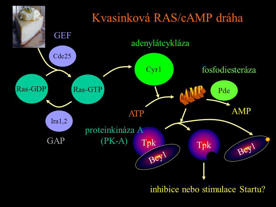 Kvasinková RAS/cAMP dráha Ras-GDP Ras-GTP Cdc25 Ira1,2 Cyr1 GEF GAP adenylátcykláza ATP AMP Pde fosfodiesteráza Tpk Bcy1 proteinkináza A (PK-A) Bcy1 inhibice nebo stimulace Startu