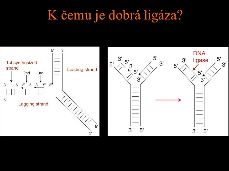 Je zástava cyklu důsledkem zlomů DNA?